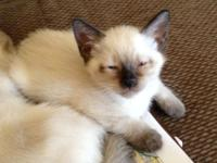 BANDIT, an adorable (Short Hair) Balinese kitten. He is