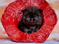 Excellent and fluffy Persian kitten, black color male ,