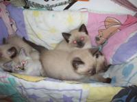 Adorable Siamese kittens. Have one female & three male