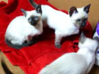3 beautiful seal point male Siamese kittens looking for