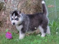 Adorable Siberian Husky Puppies,Please do get back to