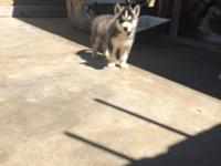 I have six stunning siberian husky puppies. I have 4