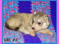 Beautiful healthy purebred Siberian Husky puppies. Born