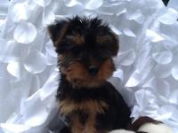 We have gorgeous silkie terrier puppies readily