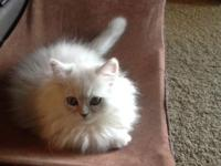 Magnificent Persian kitty for sale. He is ten weeks old