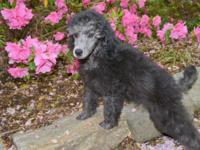 Beautiful Silver Male. Thise pup is very playful and