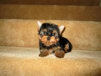 Adorable black/tan AKC yorkie terrier males who has a