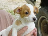 """JACK"" is a beautiful red * white, will be a small dog,"