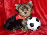 AKC Male yorkie to pet home. Will certainly have to do
