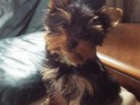 Small male yorkie, 12 weeks old, charting to be 3-3