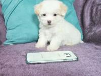 I have 2 Male and 3 Female Maltipoo puppies looking for
