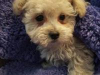 We have two tiny female Maltipoo pups. These are just