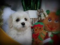 This is Jingles. She is a full-blooded Coton De Tulear,
