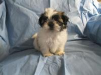 CKC registered male puppy. Will be small Shih Tzu with