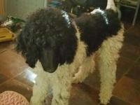 Adorable lil small sized standard poodles for sale,