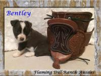 Adorable Toy Silver Tri Male Australian Shepherd Puppy