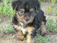 Our YorkiePoo young puppies are adoringly managed and