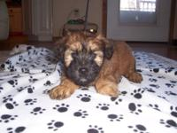 I have a litter of Wheaten Terriers that will be ready