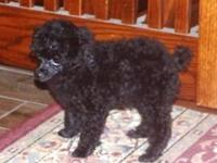 Velvet is a awesomely lovely toy poodle lady. She
