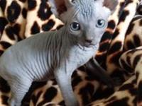 Sphynx kittens for sale 8 weeks old. Ready for a new