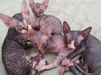 We have a litter of the cutest Sphynx kittycats all set