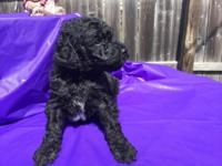 Beautiful Standard Poodle Puppies for sale $700 each.