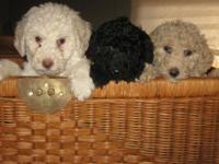 Cute standard poodle young puppies. Registered CKC.
