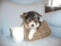 I have 5 super tiny CKC biewer yorkie for sale. They