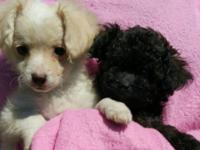 we have a litter of four Maltipoo pups. One girl (the