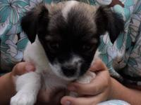 These adorable puppies (2 male and 2 female) are the