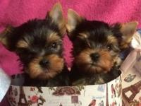 Full coat and Pure white amazing teacup yorkie puppies