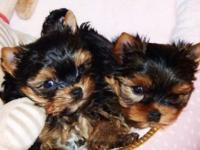 Cute T-cup Yorkie puppies available. They are 12 weeks
