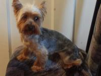 I have a female Yorkie that needs a new home and