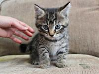 We have one male tabby kitten for sale Litter trained,