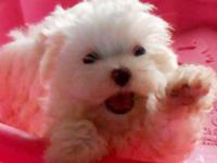 tcup female maltese puppy just 8 weeks old ready for