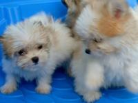 lovable Tcup Maltipom male puppy ready for his Forever