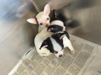 I have 3 cute, frisky tea cup Chihuahuas for adoption.