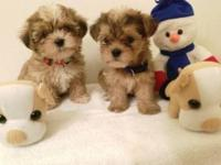 Super tiny gorgeous 2 brothers Morkie 7 weeks old. Dad
