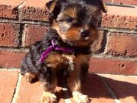 Beautiful AKC Yorkshire Terrier boys for sale. Home