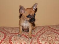 We have a litter of 3 teacup Chihuahua puppies offered.