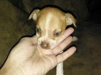 Teacup chihuahua puppies 2 left available one male and