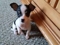 Rehoming a super tiny chihuahua female puppy. She is