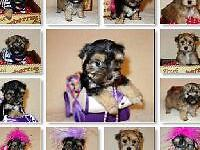 Male and Female Morkie Puppies Ready Now! Designer