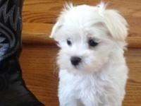 Charming male and female Maltese for adoption. They are