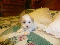 We have two adorable female Teacup Maltipoo/Chinese
