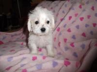 We have one lovable women teacup Maltipoo/Dashund mix