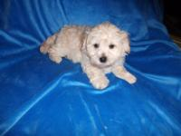 We have one male and one women teacup maltipoo new
