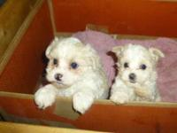We have two lovable Malitpoo young puppies, there is