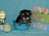 Adorable CKC registered Teacup Maltese puppy for Sale in