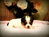 We have offered Teacup Pomchis young puppies. Female is